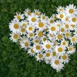 Camomile wallpapers hd