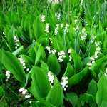 Lily Of The Valley free download