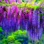 Wisteria widescreen