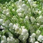 Lily Of The Valley hd pics