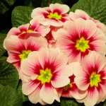 Primula high definition wallpapers