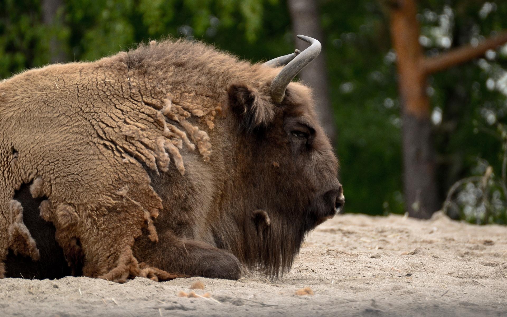 American Bison Wallpaper HD Download