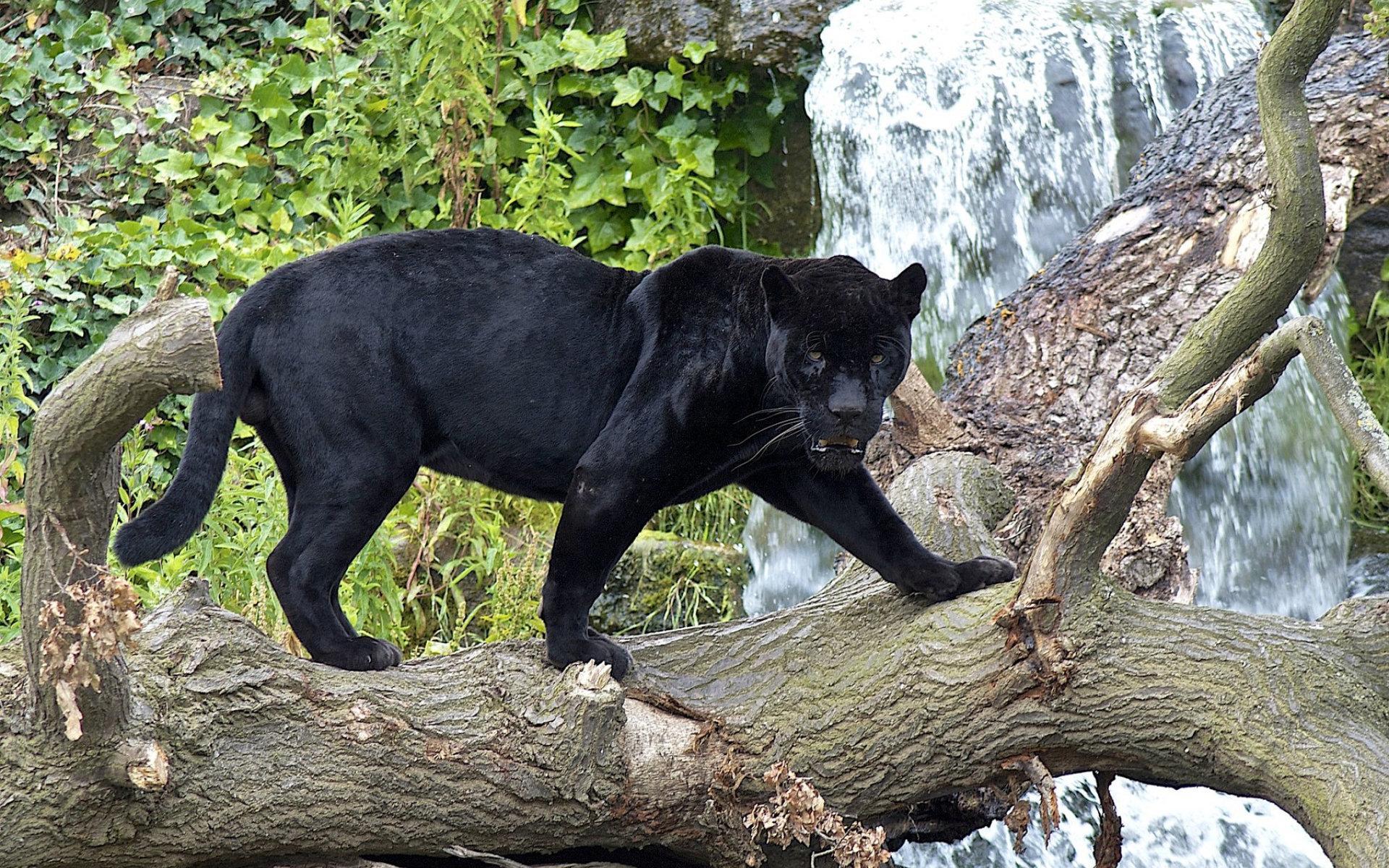 природа животные деревья пантера бесплатно