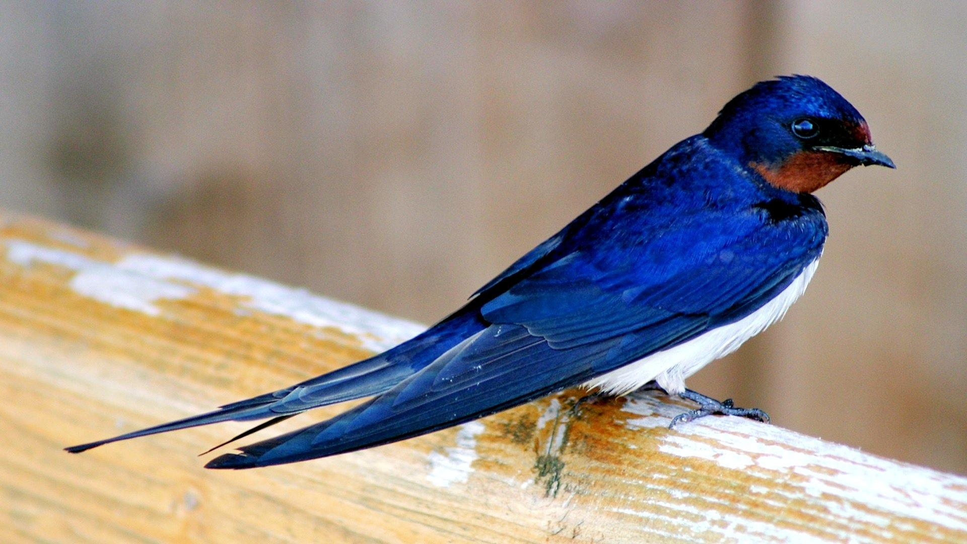 Swallow wallpapers HD quality