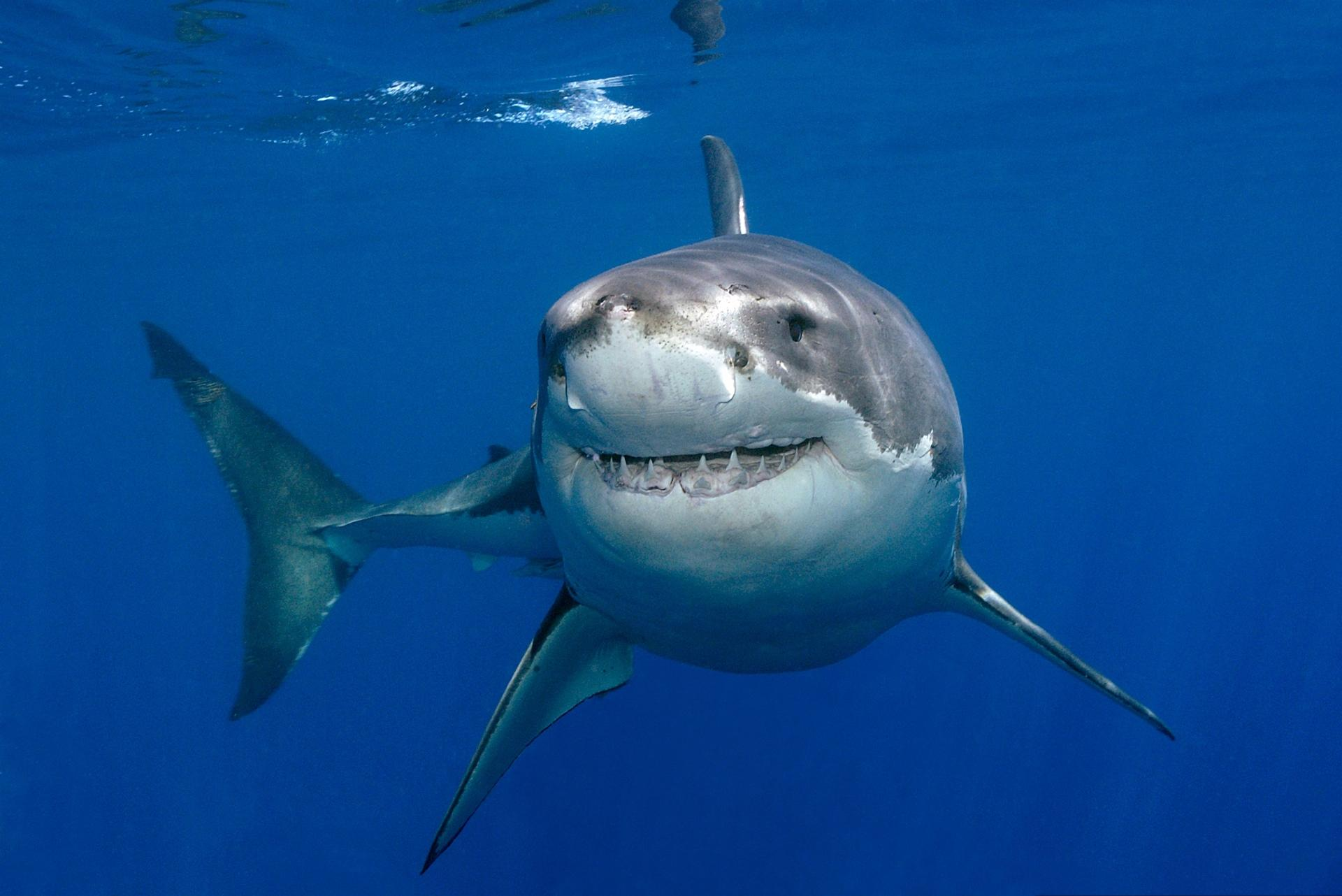 Great white shark wallpaper hd download for Picture great