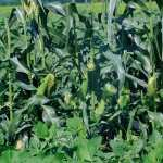 Corn high definition photo