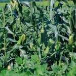Corn high definition photo
