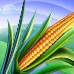 Corn wallpapers hd