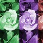Rose Artistic image