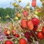 Strawberry download