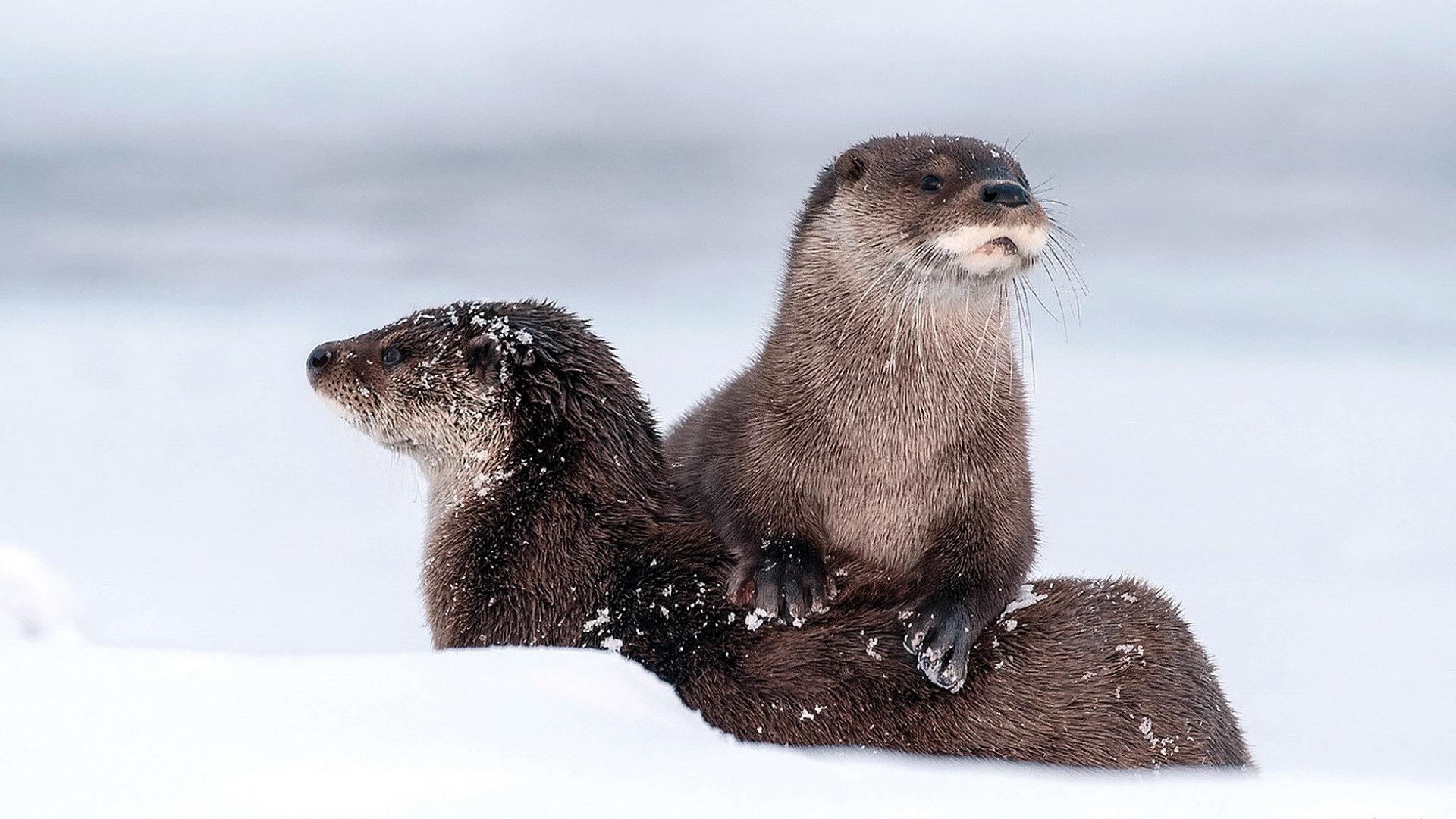 Otter Wallpaper Hd Download
