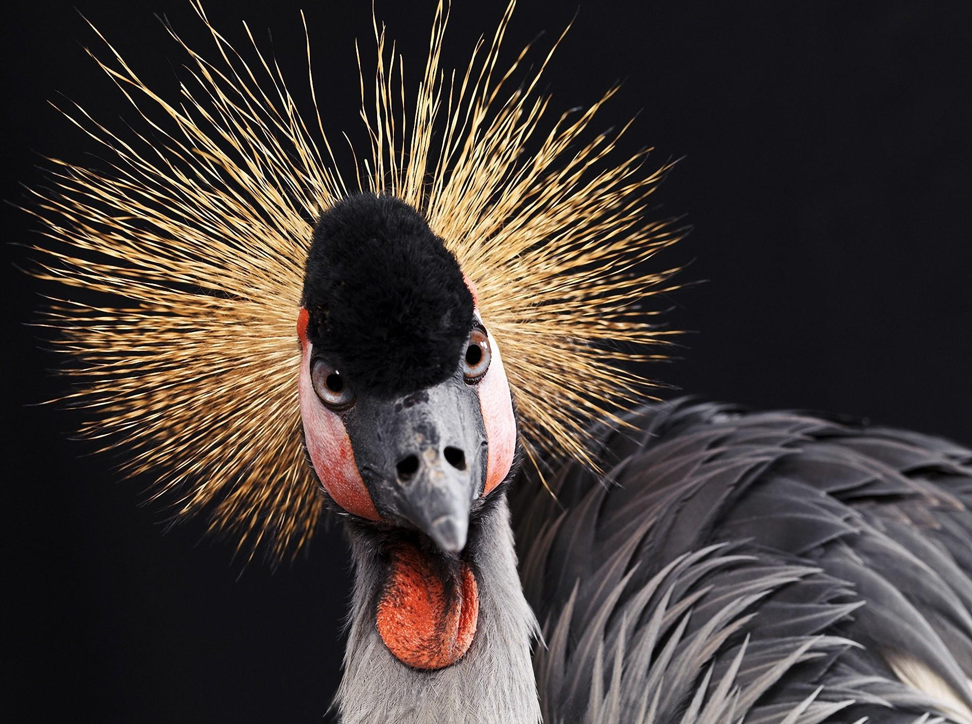 Grey Crowned Crane wallpapers HD quality