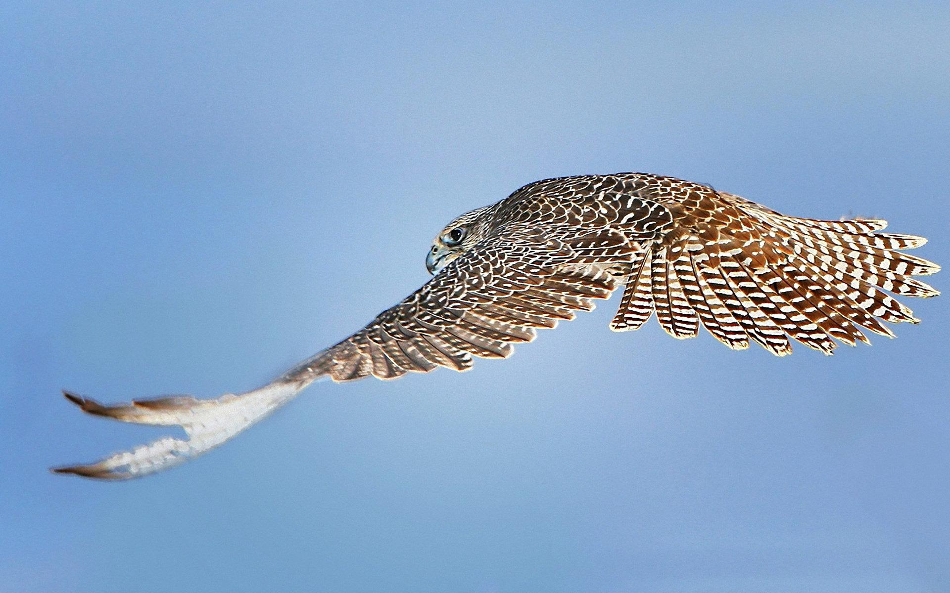 Falcon High Resolution Wallpapers: Peregrine Falcon Wallpaper HD Download