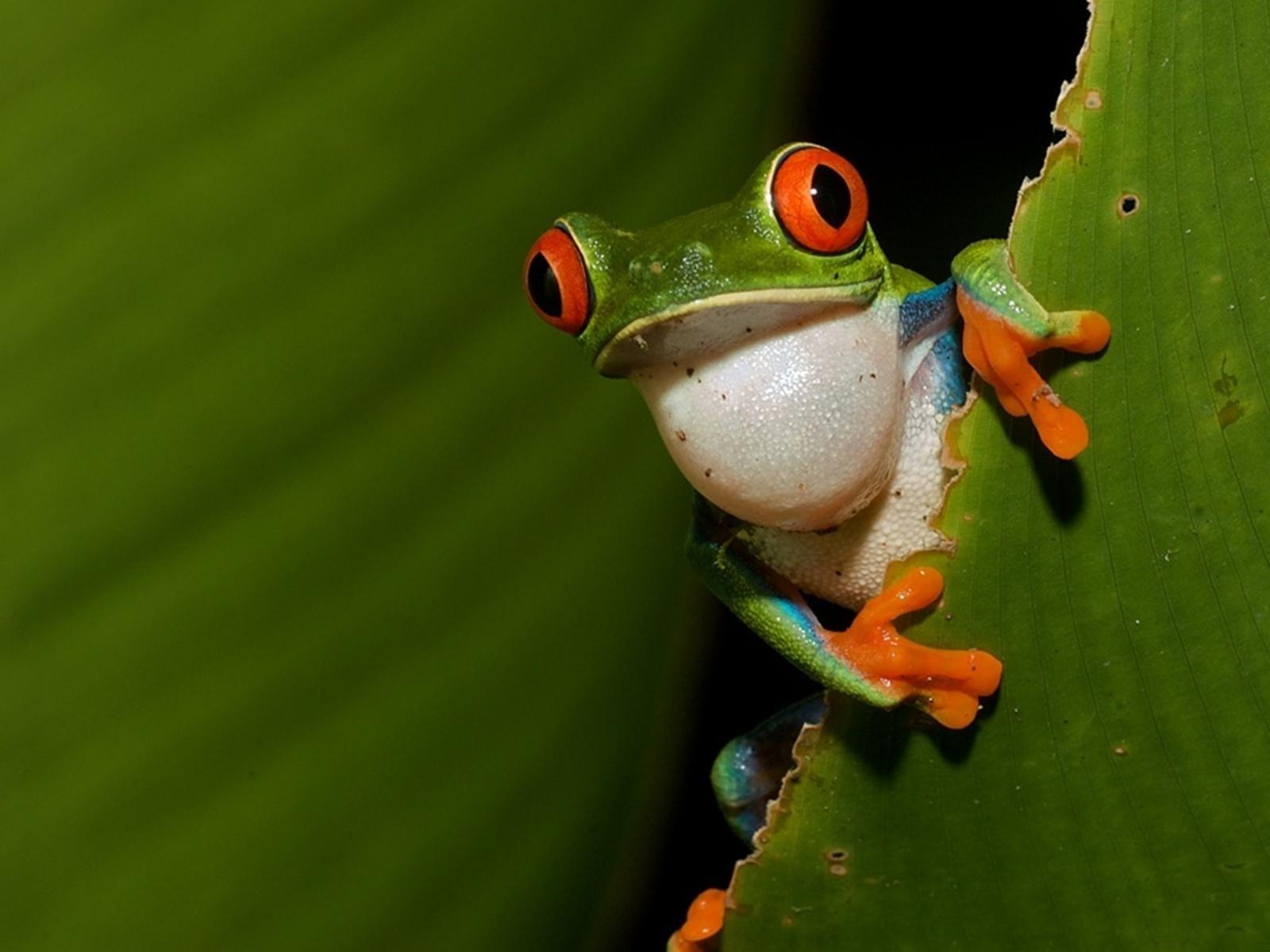 Red Eyed Tree Frog wallpapers HD quality