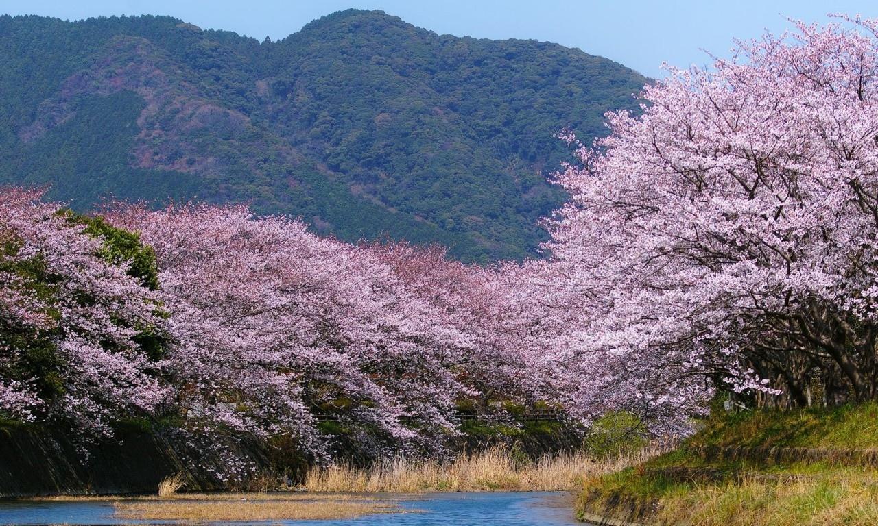 Sakura wallpapers HD quality