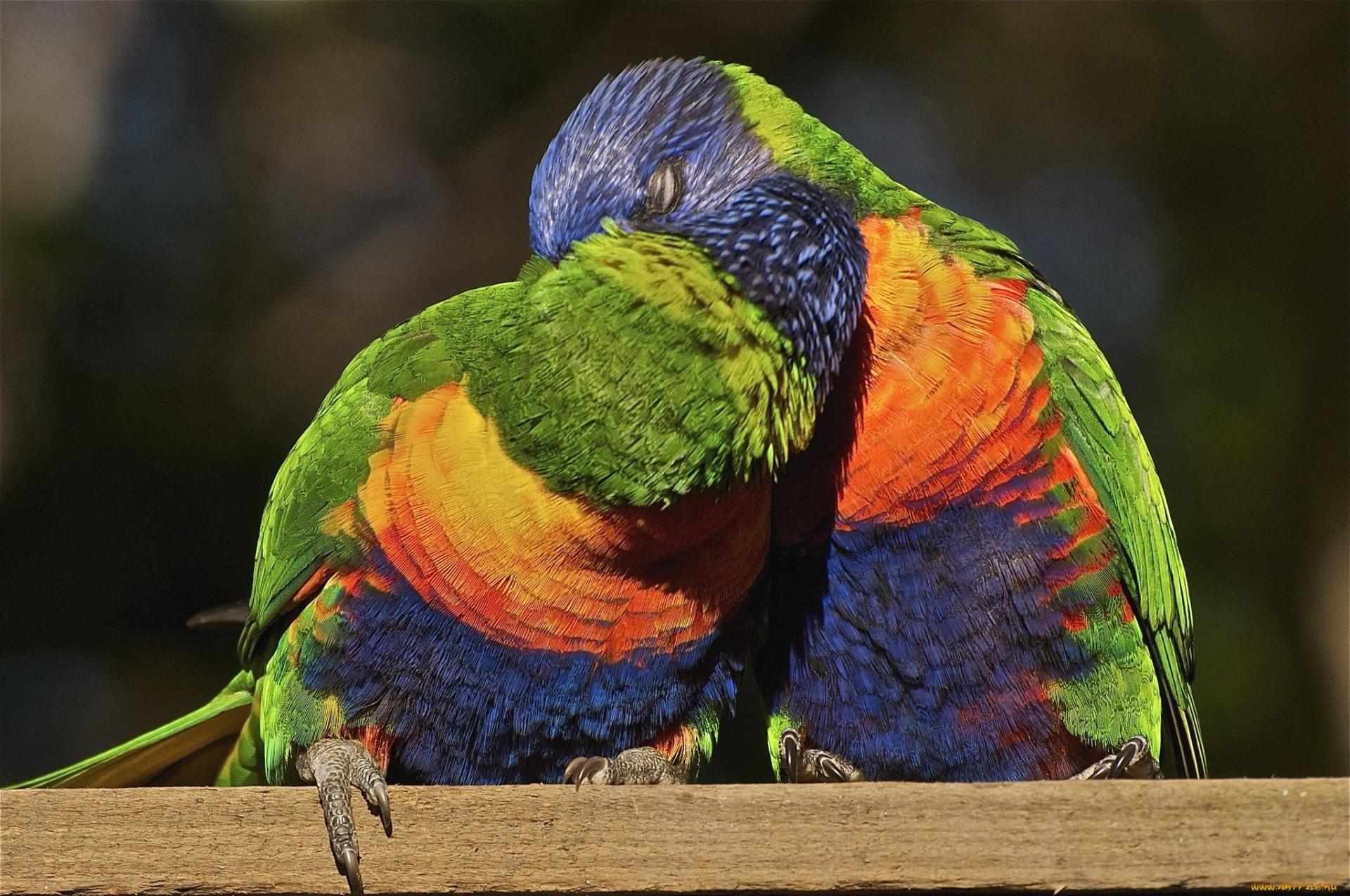 Поцелуй попугаев скачать