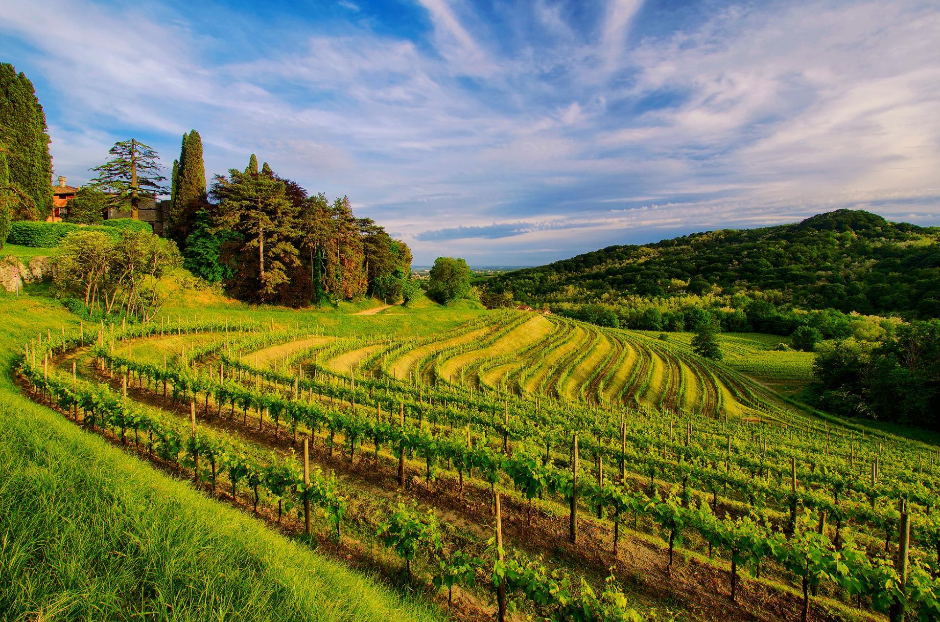 Veeyard Meaning: Vineyard Wallpaper HD Download