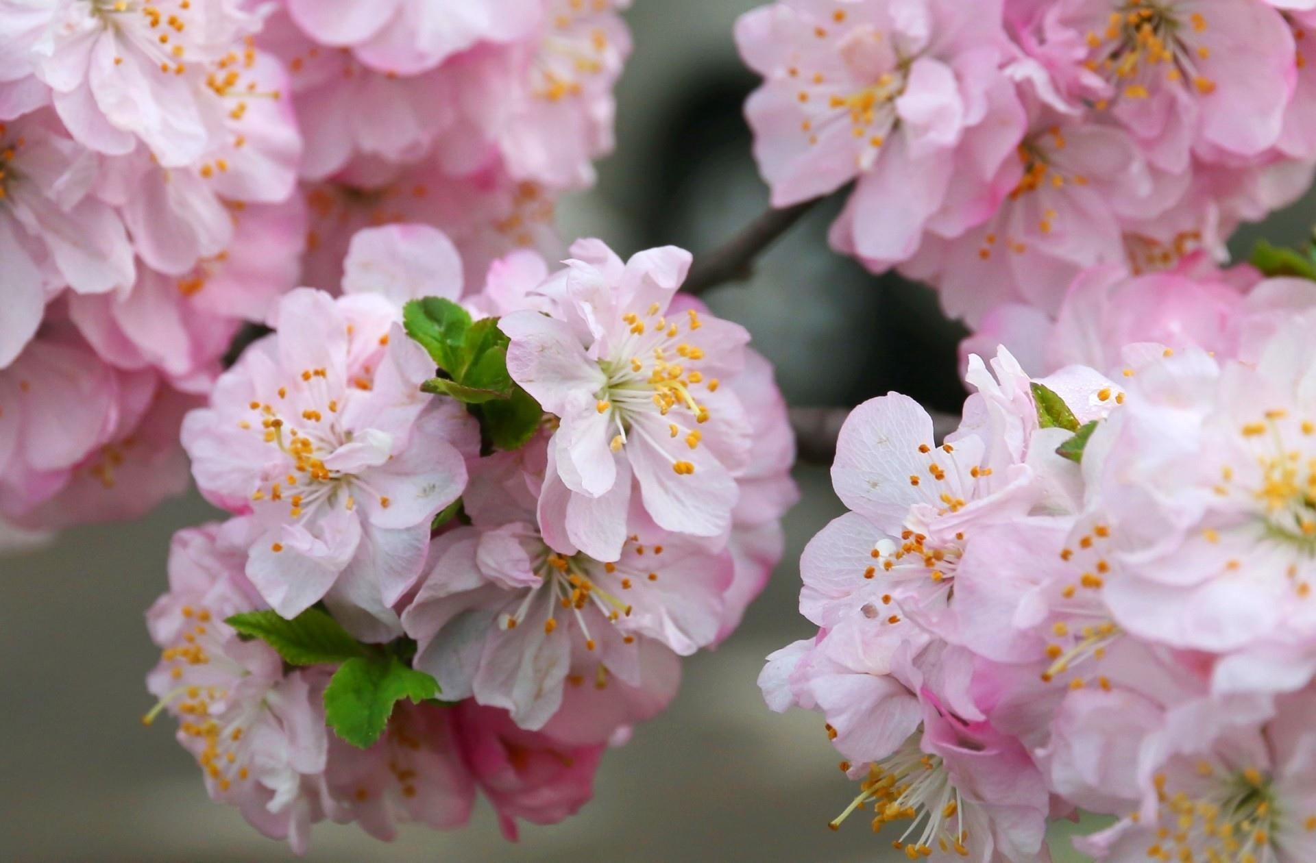Цветение сакуры фото высокого разрешения - King Sport 5