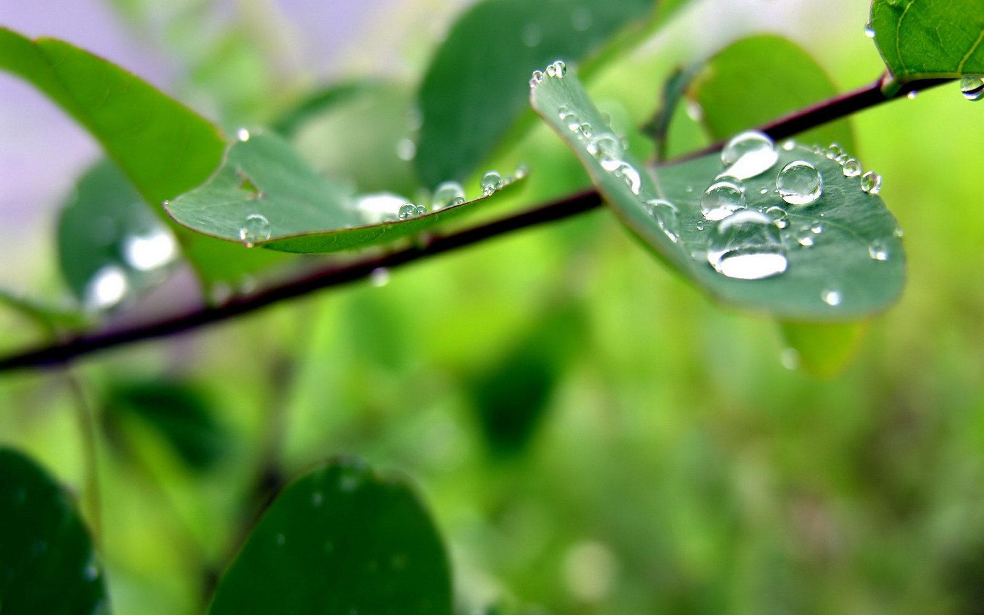 Листочки в каплях дождя бесплатно