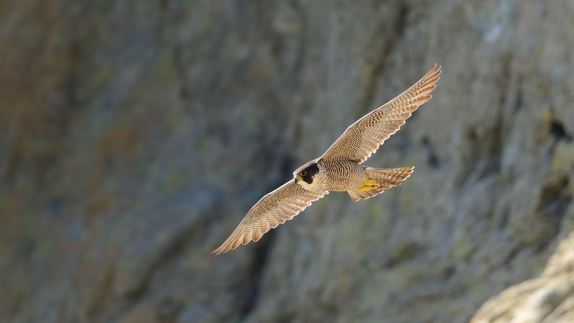 Download Free Falcons Wallpapers 3 Beautiful Collection: Peregrine Falcon Wallpaper HD Download