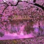 Sakura pic