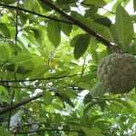 Sugar Apple image