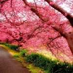 Sakura widescreen