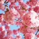 Sakura high definition photo