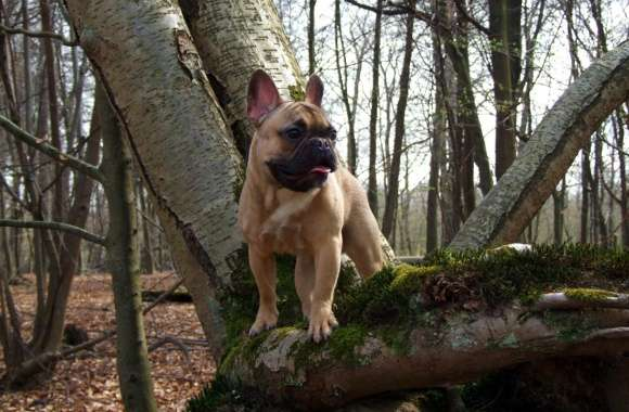 French Bulldog wallpapers hd quality
