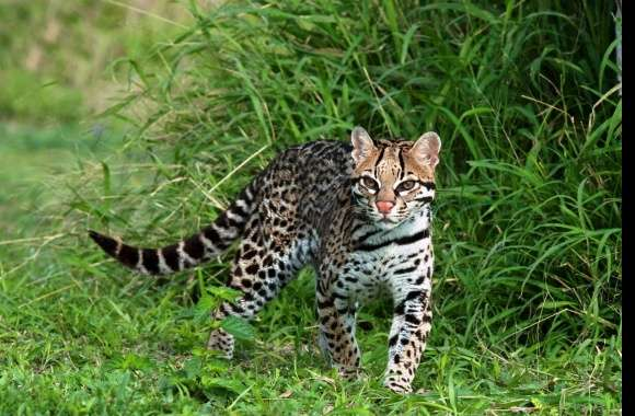 Ocelot wallpapers hd quality