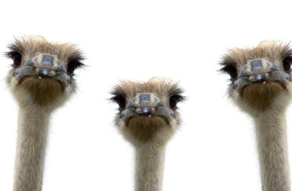 Ostrich wallpapers hd quality