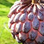 Sugar Apple hd wallpaper