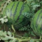 Watermelon pics