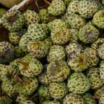 Sugar Apple download wallpaper