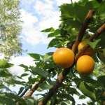 Apricot Tree pics