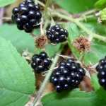 Blackberry Food free