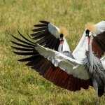 Grey Crowned Crane pics