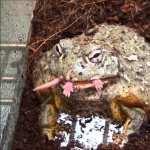 Pac-man Frog hd pics