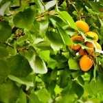 Apricot Tree full hd