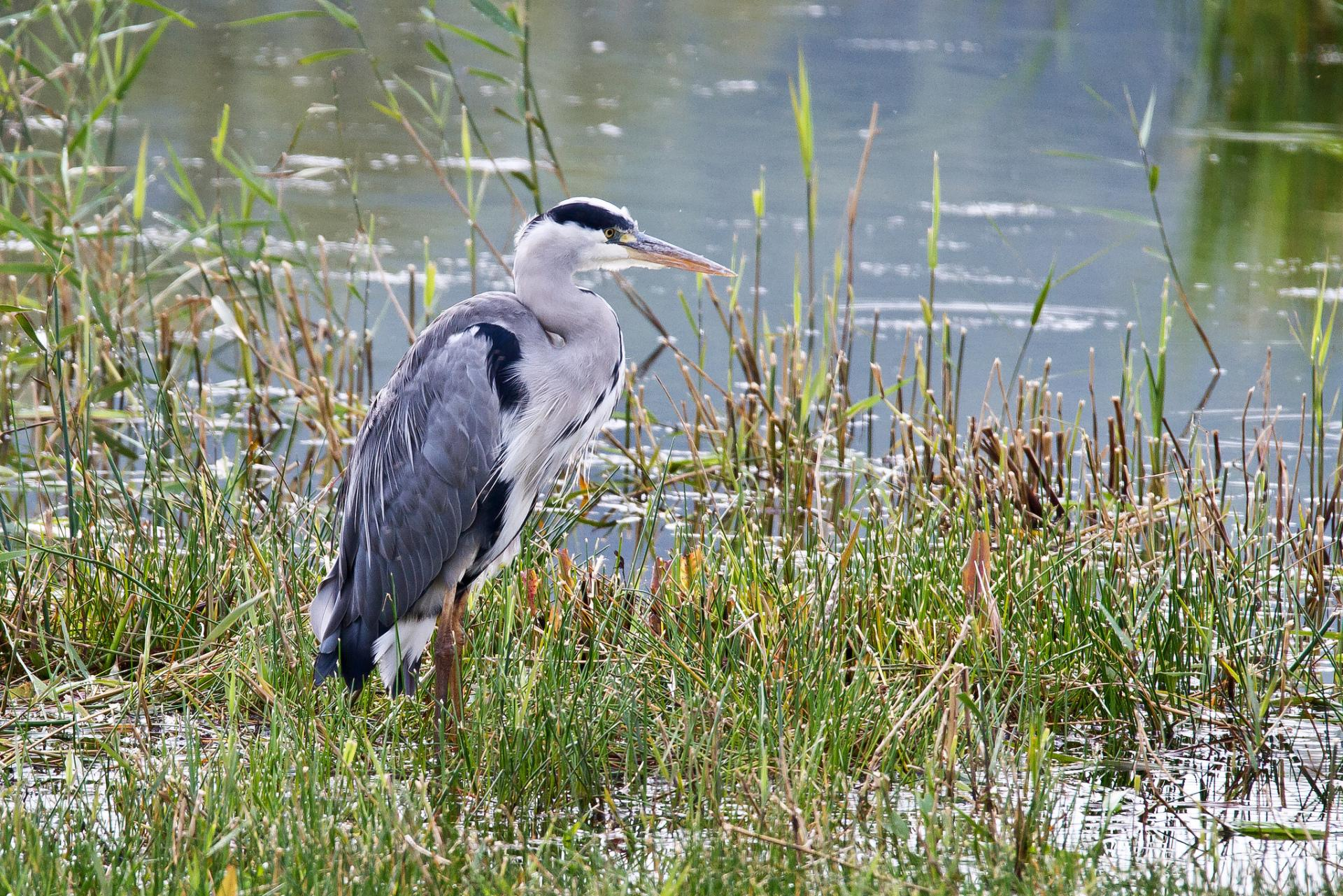цапли трава озеро  № 3643032 без смс