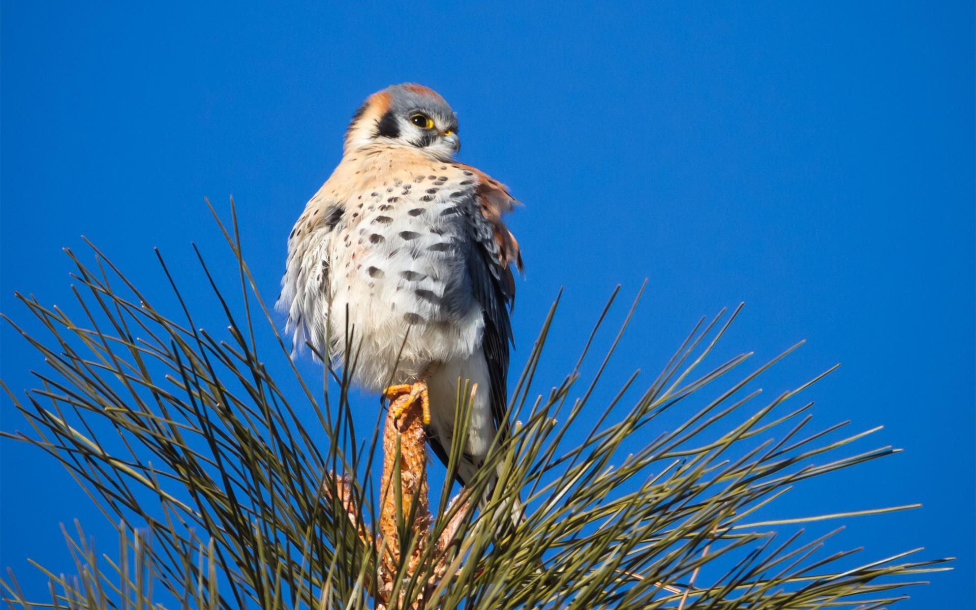 Falcon High Resolution Wallpapers: Falcon Wallpaper HD Download