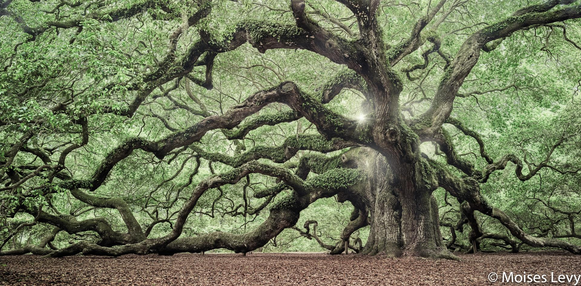 Angel Oak Tree Wallpaper HD Download