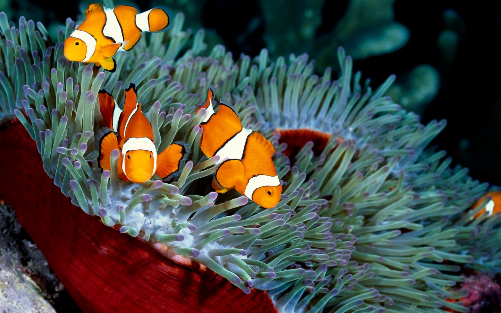 Clownfish Wallpaper Hd Download
