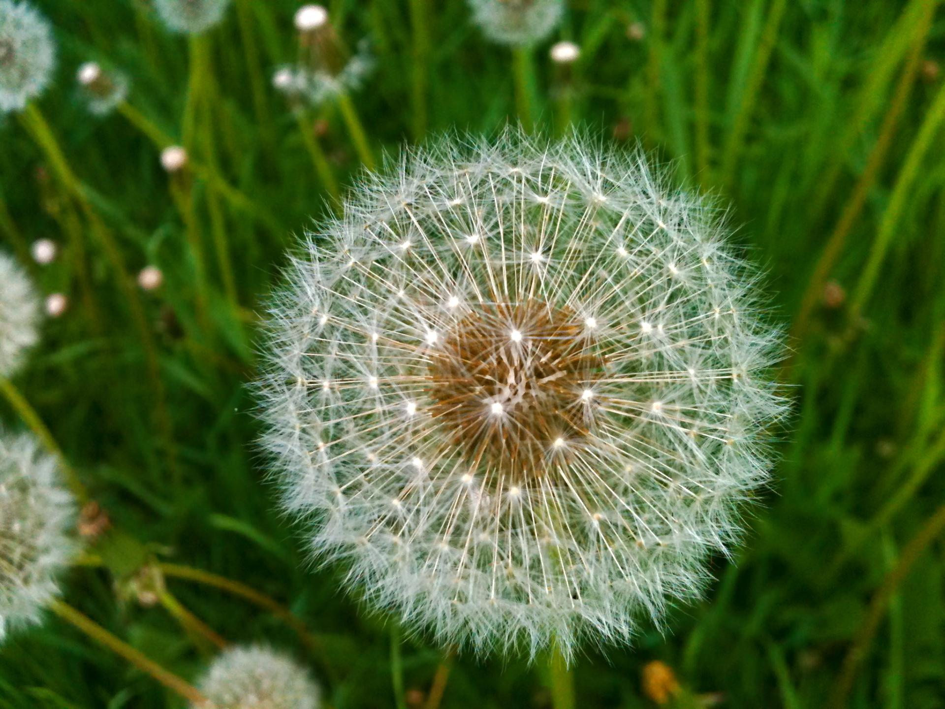 Dandelion wallpapers HD quality