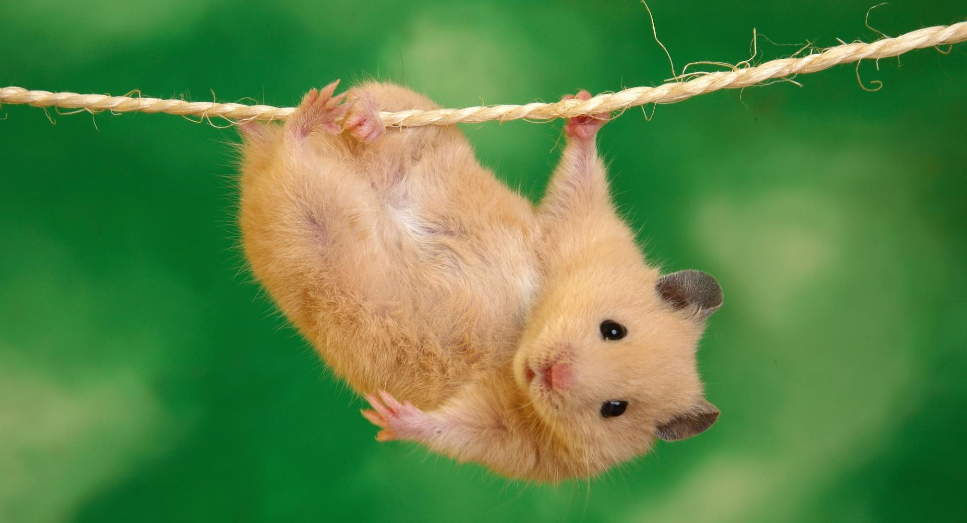 Funny Hamster wallpapers HD quality