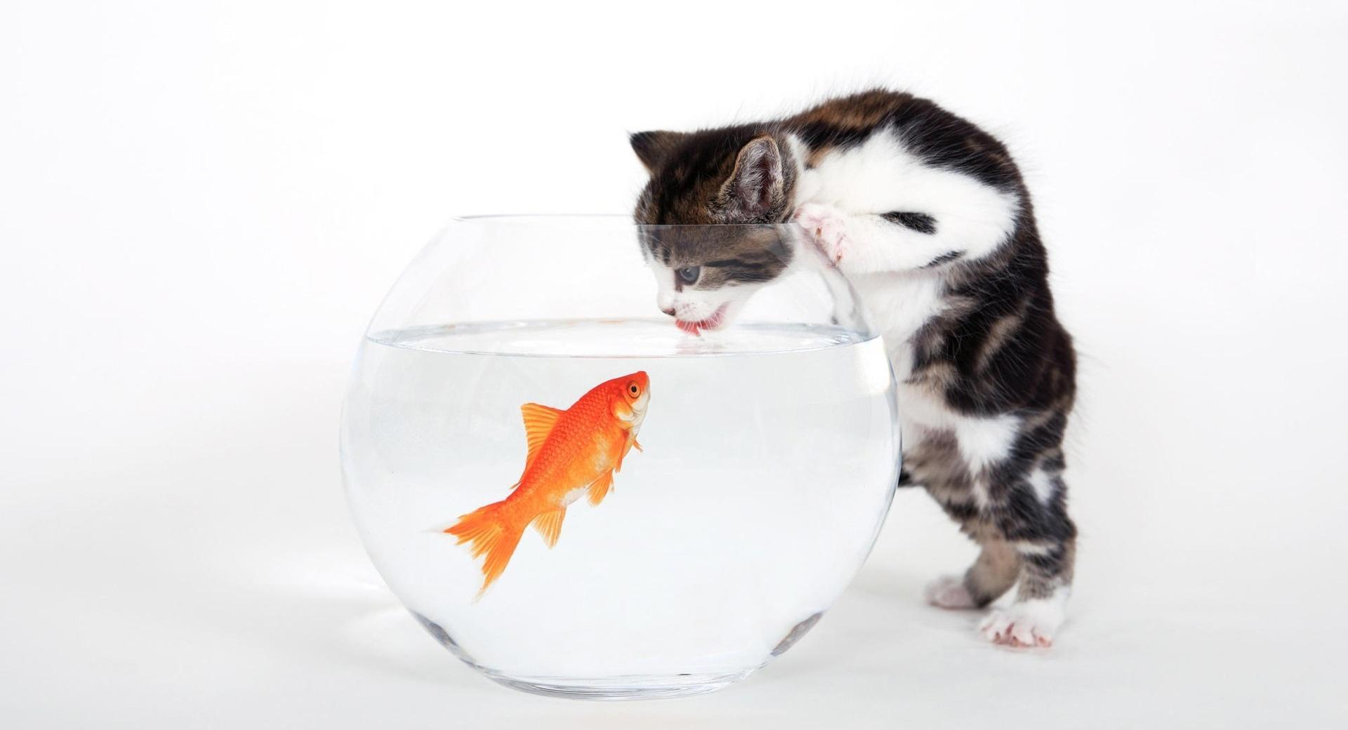 Kitten vs. Fish wallpapers HD quality