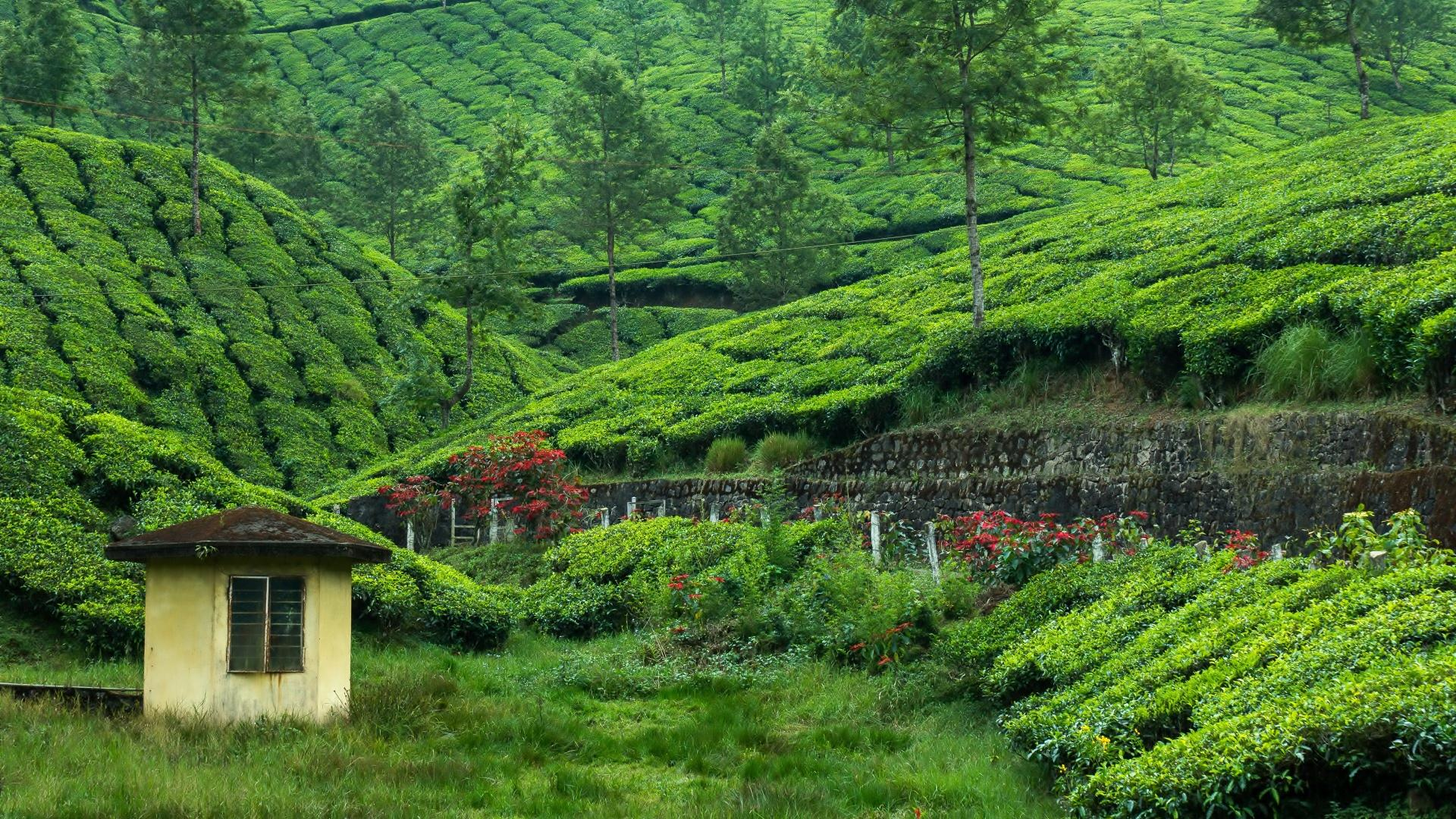Tea Plantation wallpapers HD quality