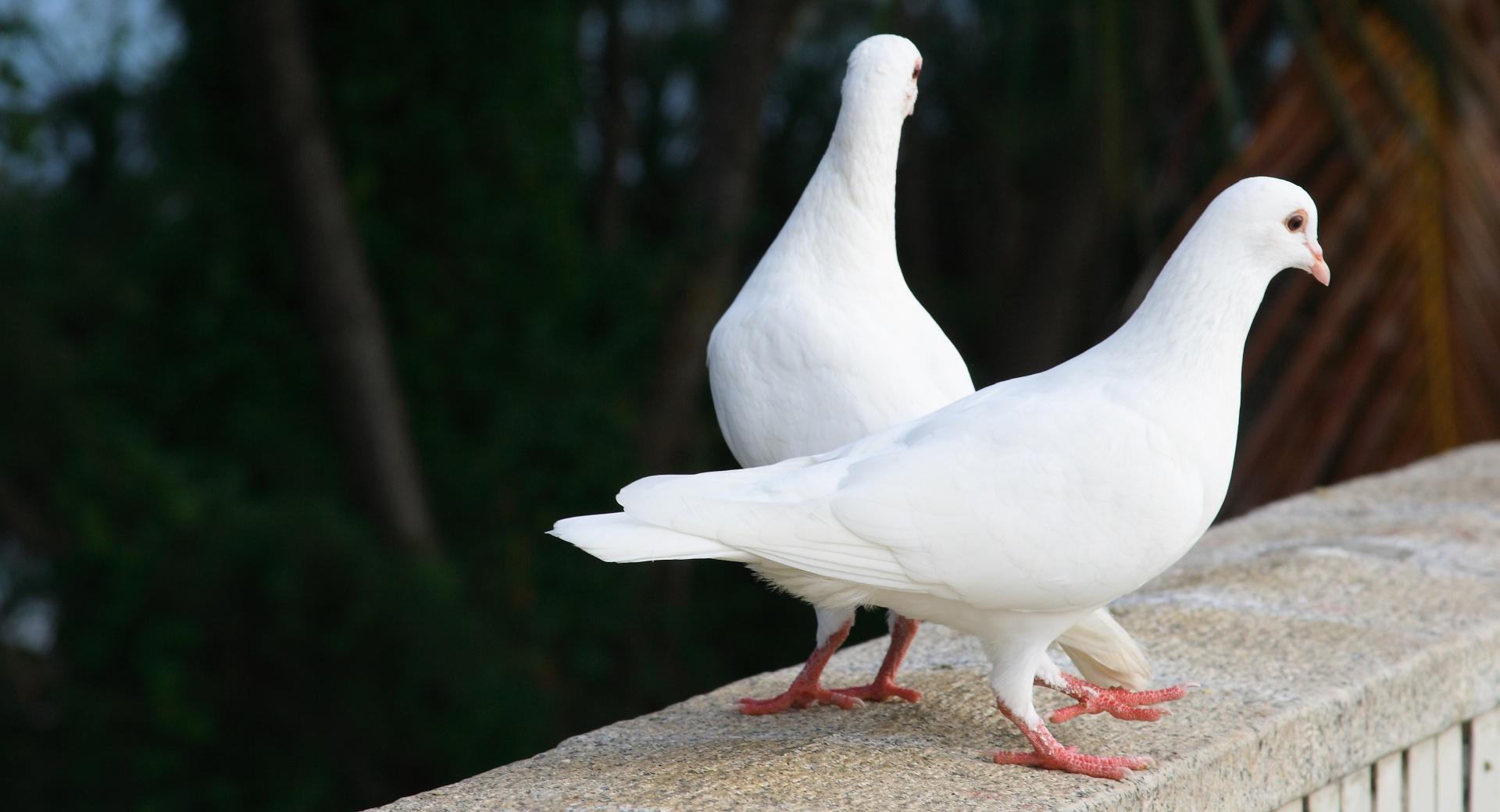 белые голуби фон загрузить