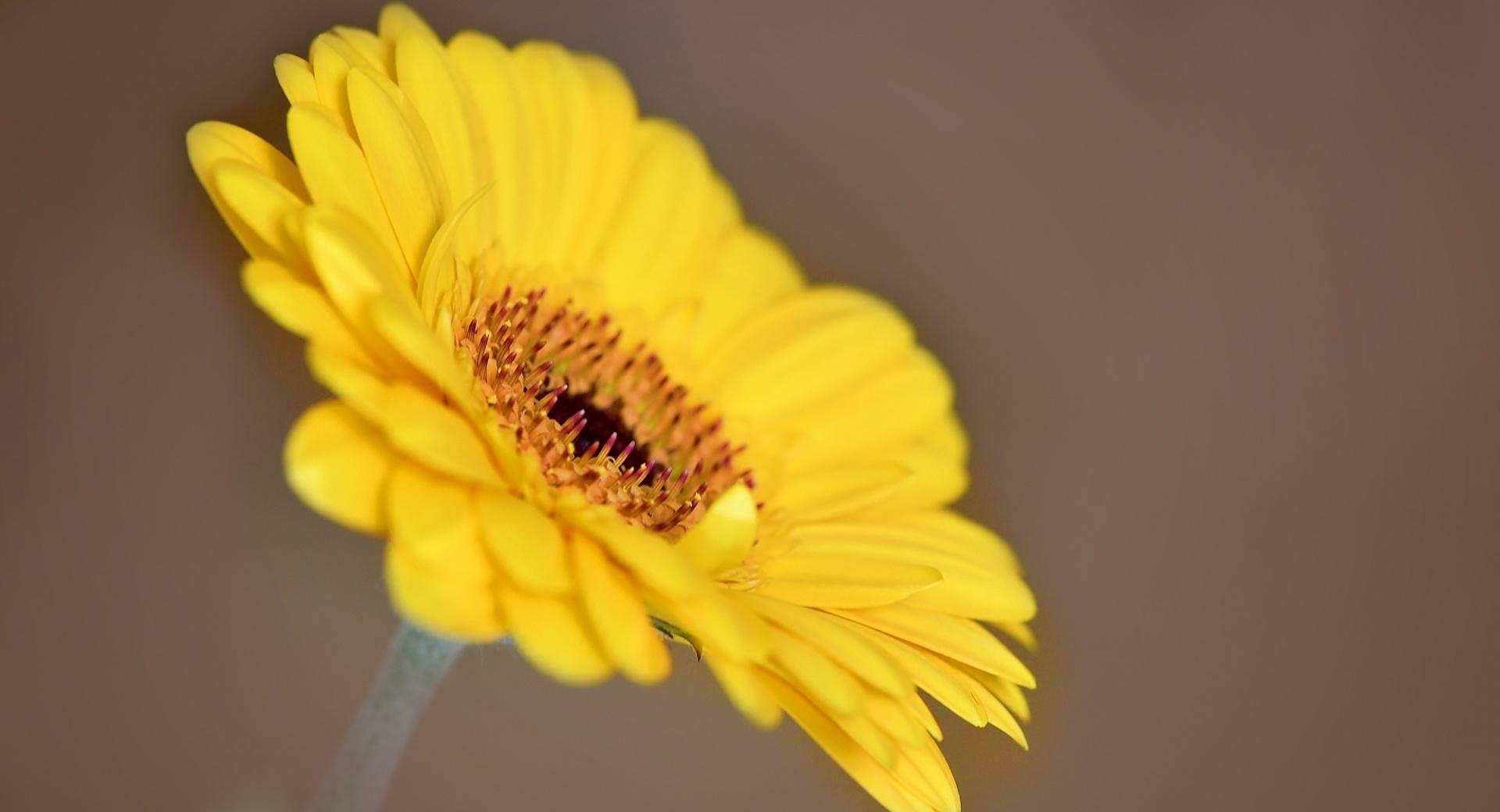 Yellow Gerbera wallpapers HD quality