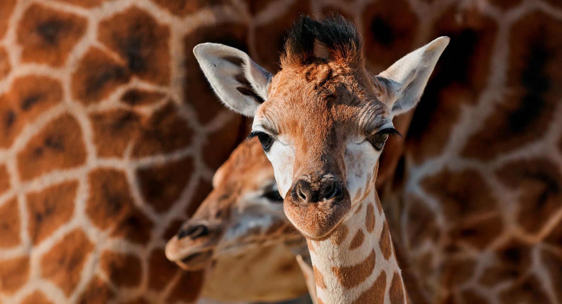 Young Giraffe wallpapers HD quality